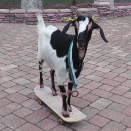 SkatingGoat
